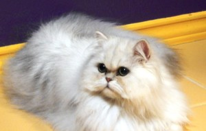 shaded-silver-Persian-female-breeder