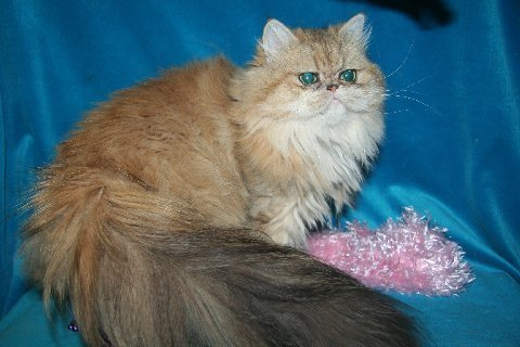 Shaded-Golden-Persian-Cat-Ally2