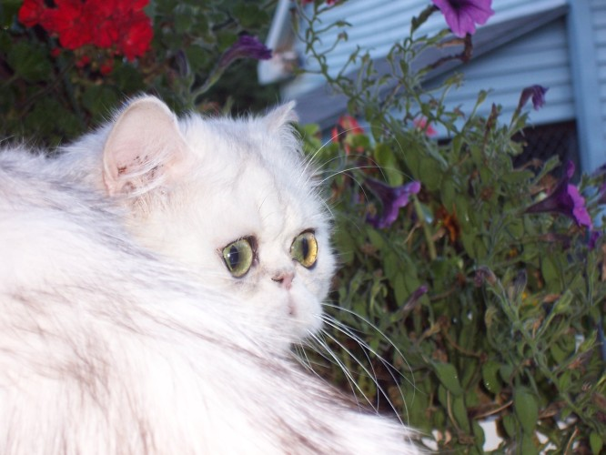 Shaded-Silver-Persian-Cat-Magdalene-Sire3_Michaelangelo