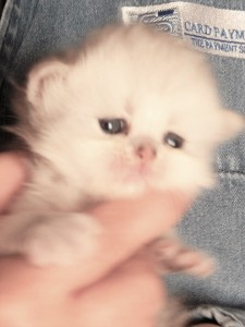 Shaded-Silver-Persian-Kitten