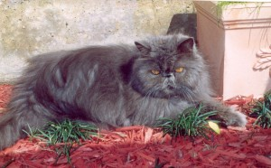 william-copper-eyed-blue-persian-cat-male-breeder-retired