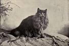 early-persian-cat-picture