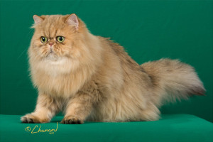 champion-premier-amber-romance-female-shaded-golden-persian-cat