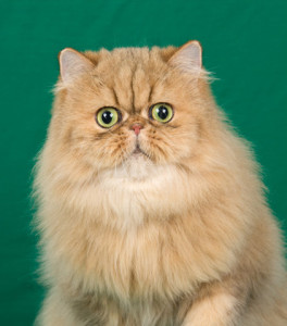champion-premier-amber-shaded-golden-persian-cat-female-retired-breeder