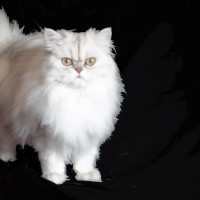 Silver Persian Cats and Kittens