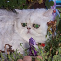 Persian Cats – The Adventure