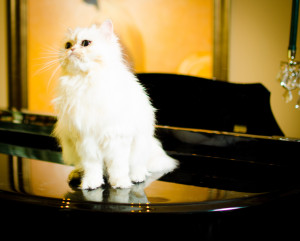 silver-Persian-cat-female-breeder