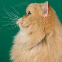 Golden Persian Cat..