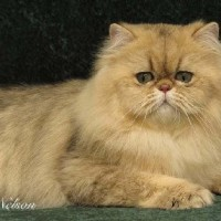 Shaded Golden Persian Cat: What Makes Them Distinct?