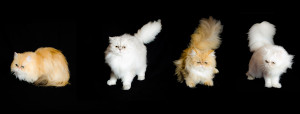 golden-and-silver-Persian-cat-breeders-of-cats-of-persia