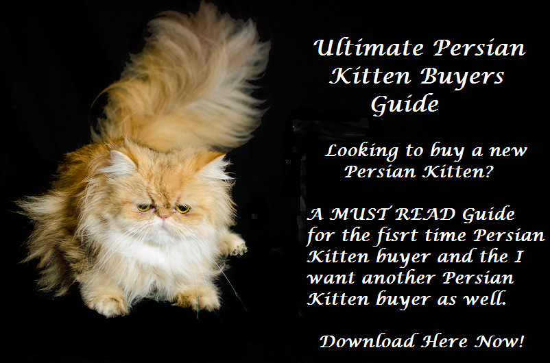Persian Cats - The Ultimate Buying Guide