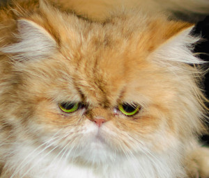 sarah-lovely-shaded-golden-persian-cat-female-breeder