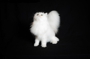 Magdeline-shaded-silver-Persian-cat-female-breeder