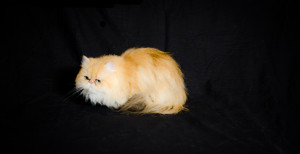 Allie-Clover-of-Cats-of-Persia-shaded-gloden-Persian-cat-female-breeder