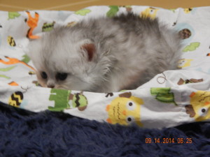 shaded-silver-Persian-male-kitten
