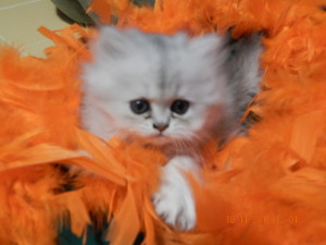 shaded-silver-persian-kitten-female