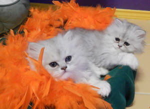 shaded-silver-persian-kittens
