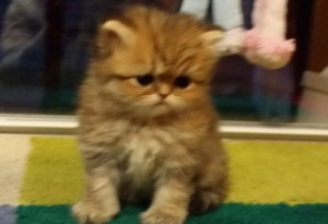 shaded-golden-Persian-female-kitten-for-sell-Christmas