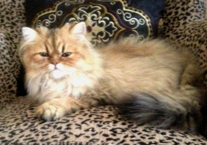 shaded-golden-male-Persian-kitten