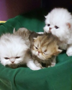 silver-persian-kitten-golden-persian-kitten