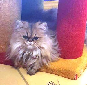 golden-persian-cat-kitten
