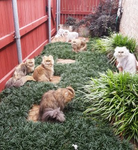 silver&_and_golden_persian_cats_&_kittens