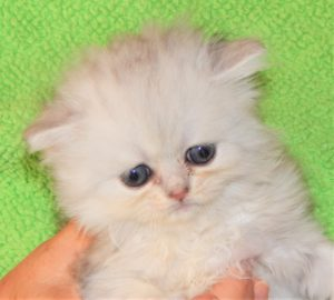 bor-April-12-shaded-silver-Persian-kitten-on-May-28-will-be-seven-weeks-on-May-31