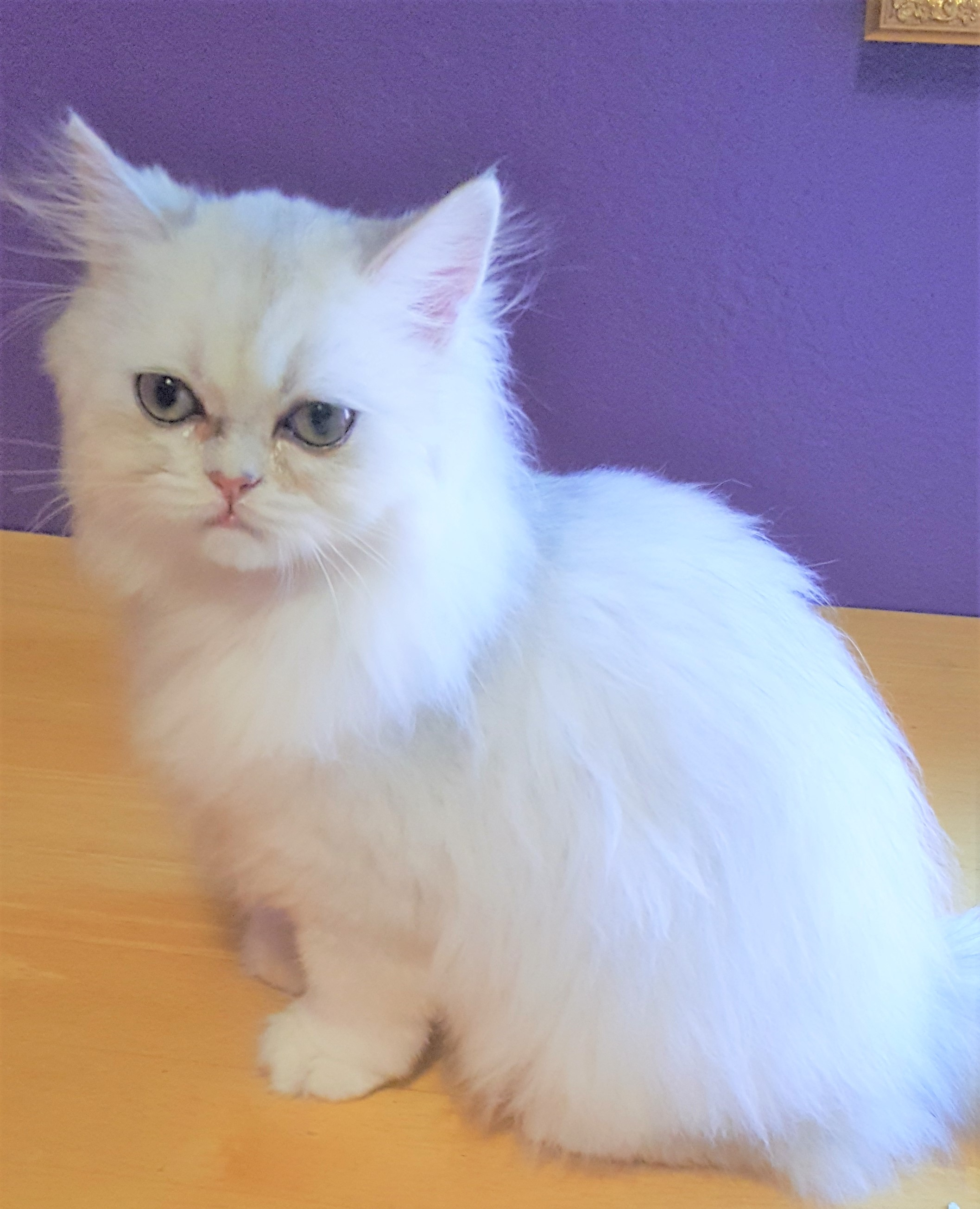 silver-female-persian-kitten